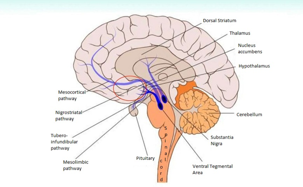 Motivation center located in the human brain